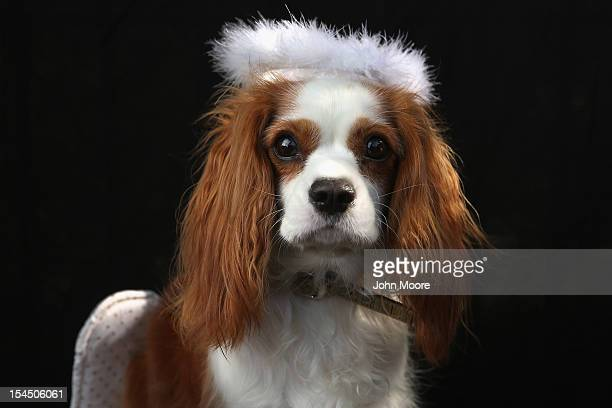 King Charles Spaniel Daisy poses as an angel at the Tompkins Square Halloween Dog Parade on October 20 2012 in New York City Hundreds of dog owners...