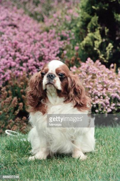 King Charles Spaniel Theron who is the living breed record holder with 30cc score 7th March 1994