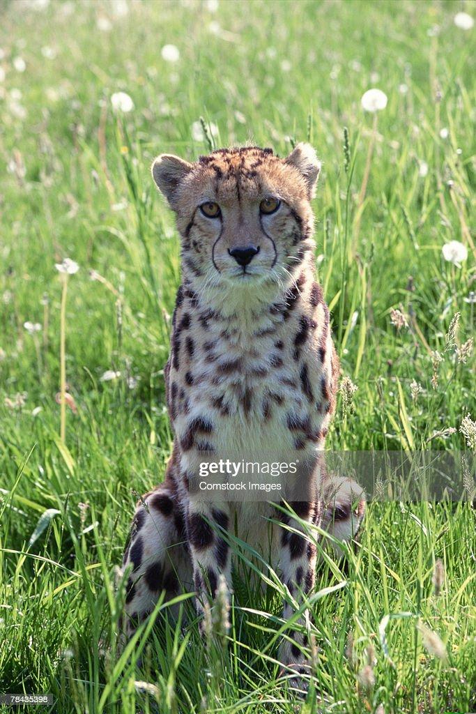 King cheetah sitting in field : Stockfoto