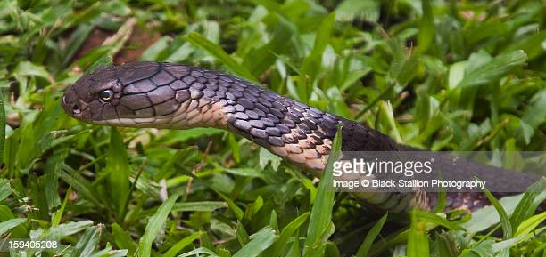 king cobra 3 - king cobra stock photos and pictures