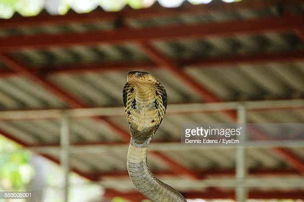 King Cobra Against Ceiling