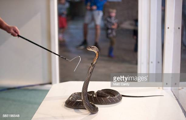 King Cobra being seen being handled at Noah's Ark Zoo Farm on August 2 2016 in Bristol England Noah's Ark Zoo Farm has teamed up with the Reptile...