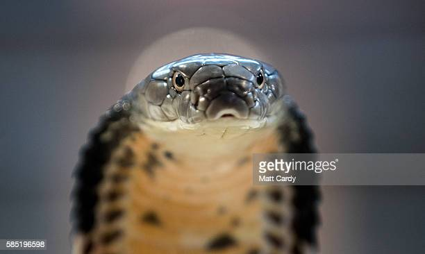 King Cobra is displayed to the public at Noah's Ark Zoo Farm on August 2 2016 in Bristol England Noah's Ark Zoo Farm has teamed up with the Reptile...