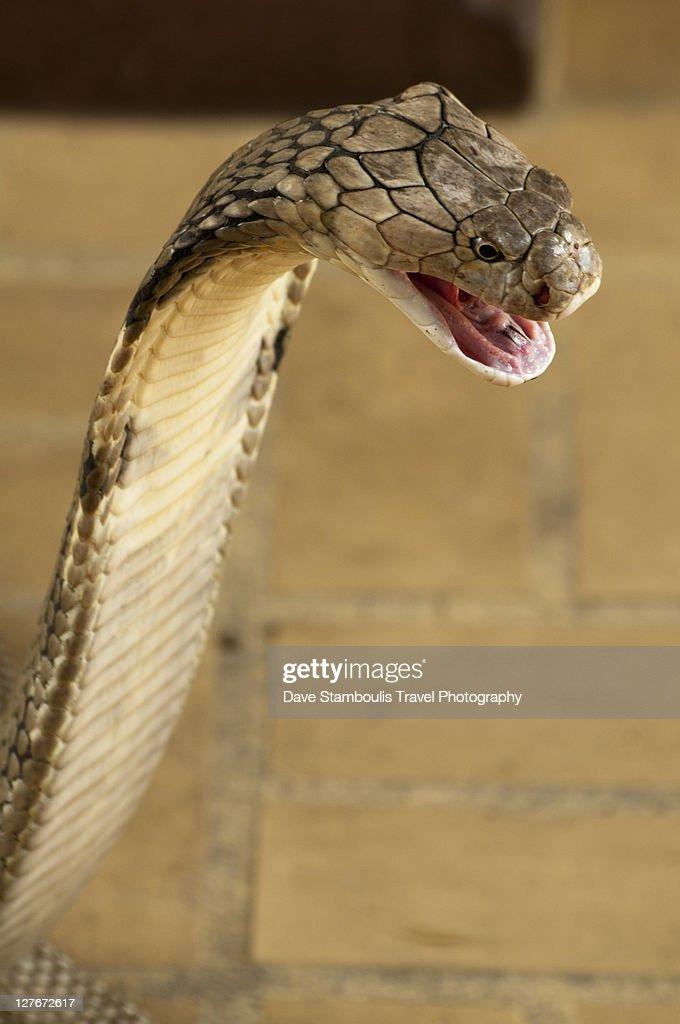 King Cobra : Stock-Foto