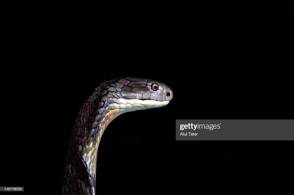 King Cobra : Stock Photo