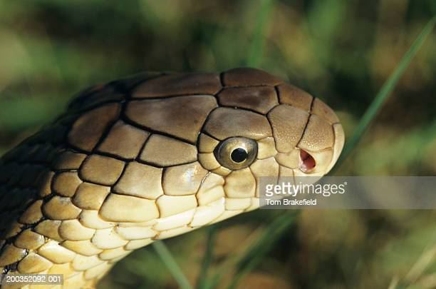 king cobra (ophiophagus hannah), (close-up) - king cobra stock photos and pictures
