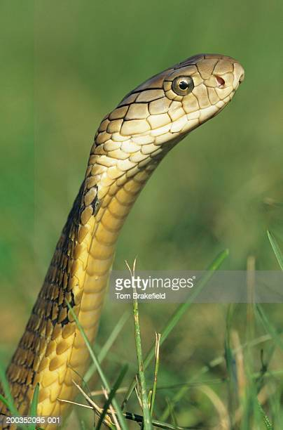 king cobra (ophiophagus hannah) - king cobra stock photos and pictures