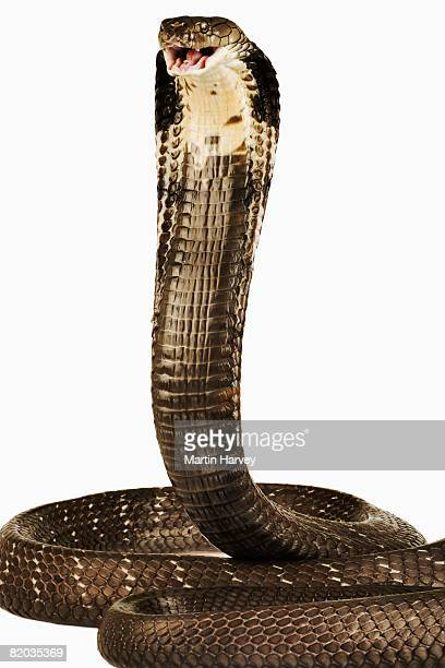 king cobra  - king cobra stock photos and pictures