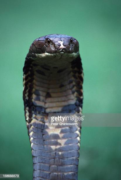 A king cobra snake that measures several meters in length is given a chance to exercise on the ground