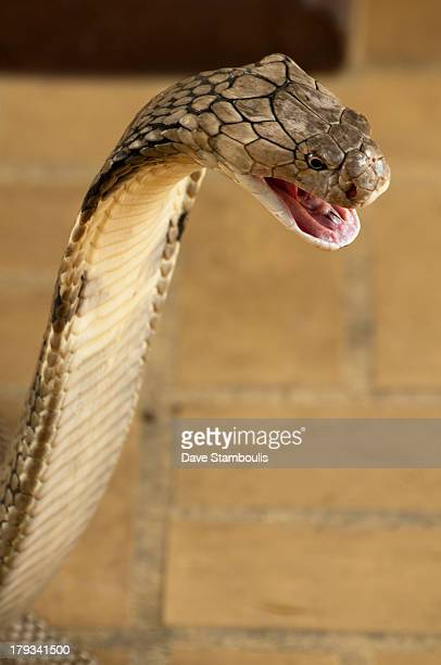 CONTENT] King Cobra the world's longest venomous snake
