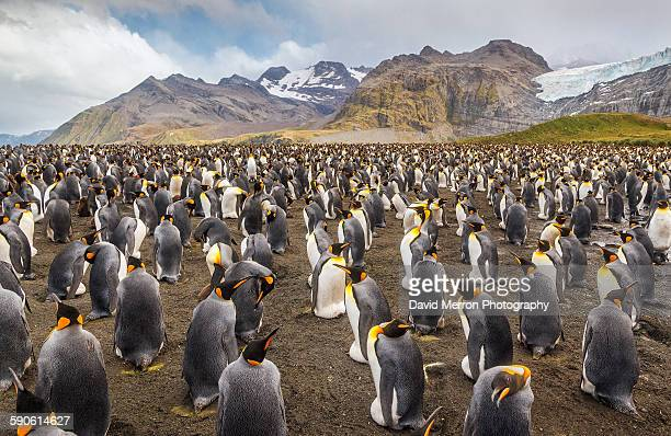 king colony - royal penguin stock pictures, royalty-free photos & images