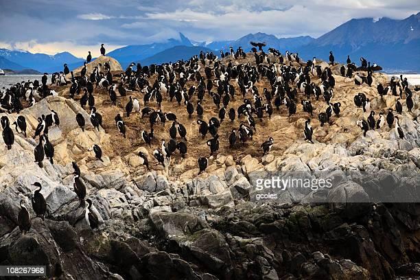 King Cormorant Bird Colony on Small Rock Island