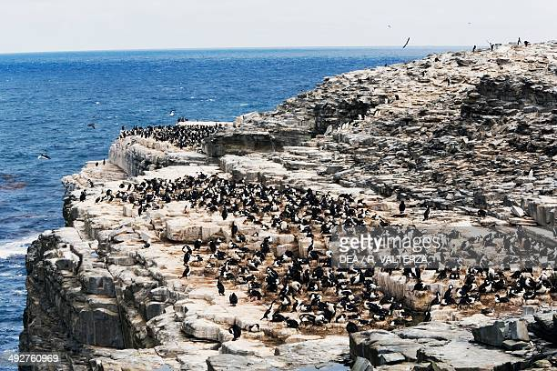 King cormorant colony Phalacrocoracidae south coast of Sea Lion Island Falkland or Malvinas Islands