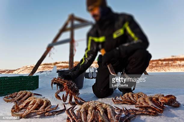 King crabs around Kirkenes