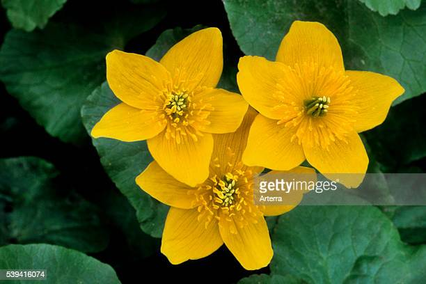 King cup / Marsh marigold in flower