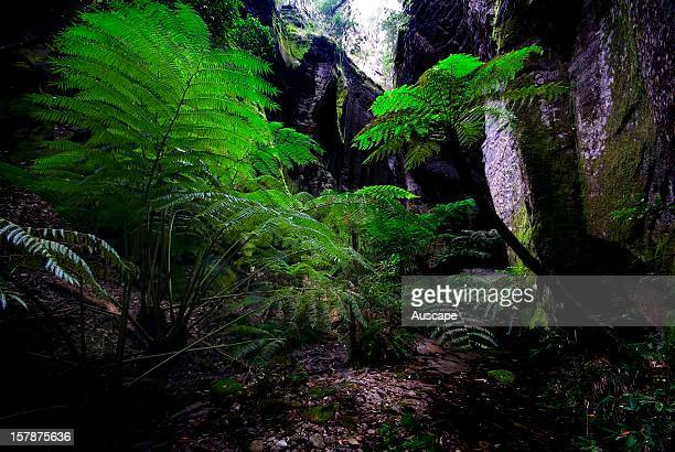 King ferns , flourishing in Ward's Canyon with its cool wet climate. Carnarvon Gorge Section, Carnarvon National Park, Central Queensland, Australia.