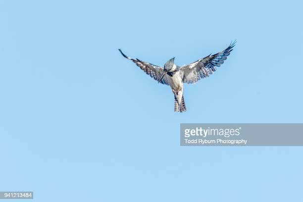 King Fisher in Flight