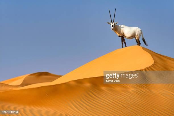 King of his domain - Arabian Oryx