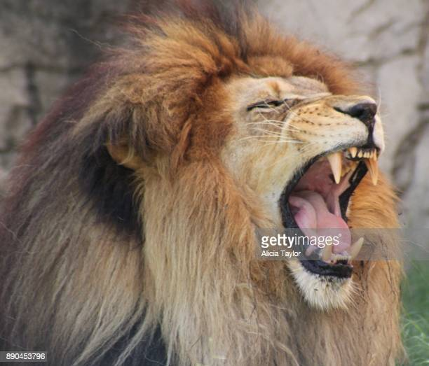 king of the african plains - lion roar stock pictures, royalty-free photos & images