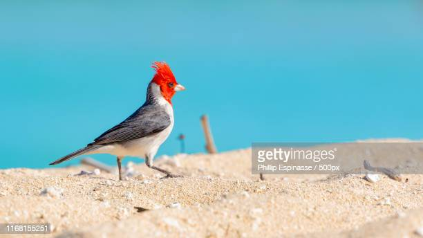 king of the beach - blue cardinal bird stock pictures, royalty-free photos & images