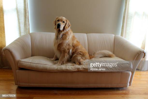 king of the couch - ゴールデンレトリバー ストックフォトと画像