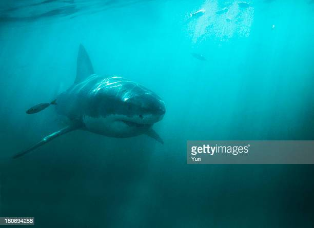 king of the deep - great white shark stock photos and pictures