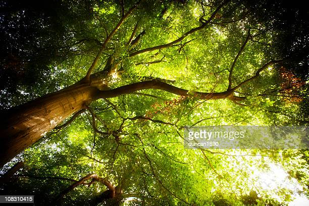 king of the forest - tree - woodland stock pictures, royalty-free photos & images