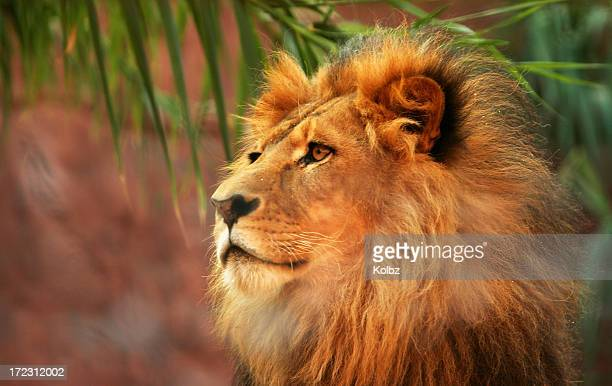 king of the jungle - lion roar stock pictures, royalty-free photos & images