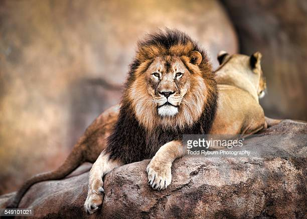 king of the jungle - lion feline stock pictures, royalty-free photos & images