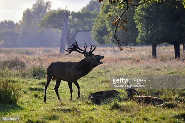 King Of The Red Deer Harem