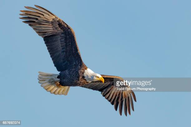 king of the sky - eagle stock pictures, royalty-free photos & images