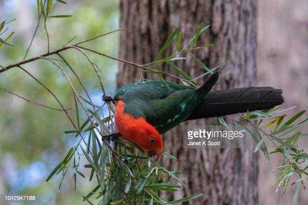 king parrot feeding - janet scott stock pictures, royalty-free photos & images