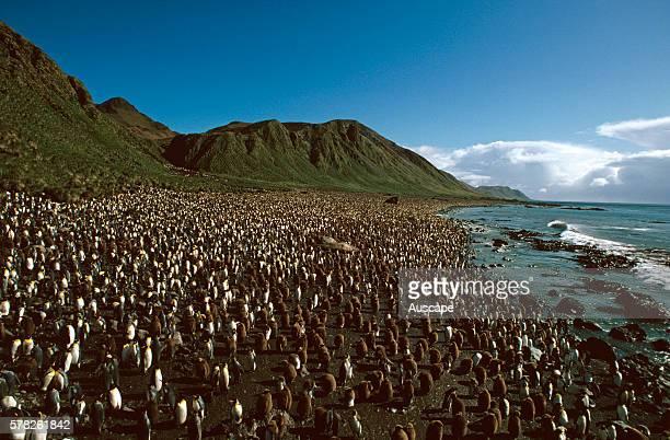 King penguin Aptenodytes patagonicus colony with 80 000 pairs Lusitania Bay Macquarie Island Tasmania Australia