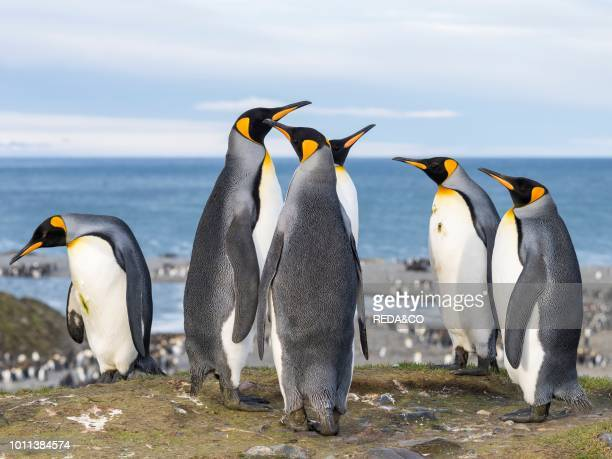 King Penguin Aptenodytes patagonicus on the island of South Georgia the rookery in St Andrews Bay Courtship behaviour Antarctica Subantarctica South...