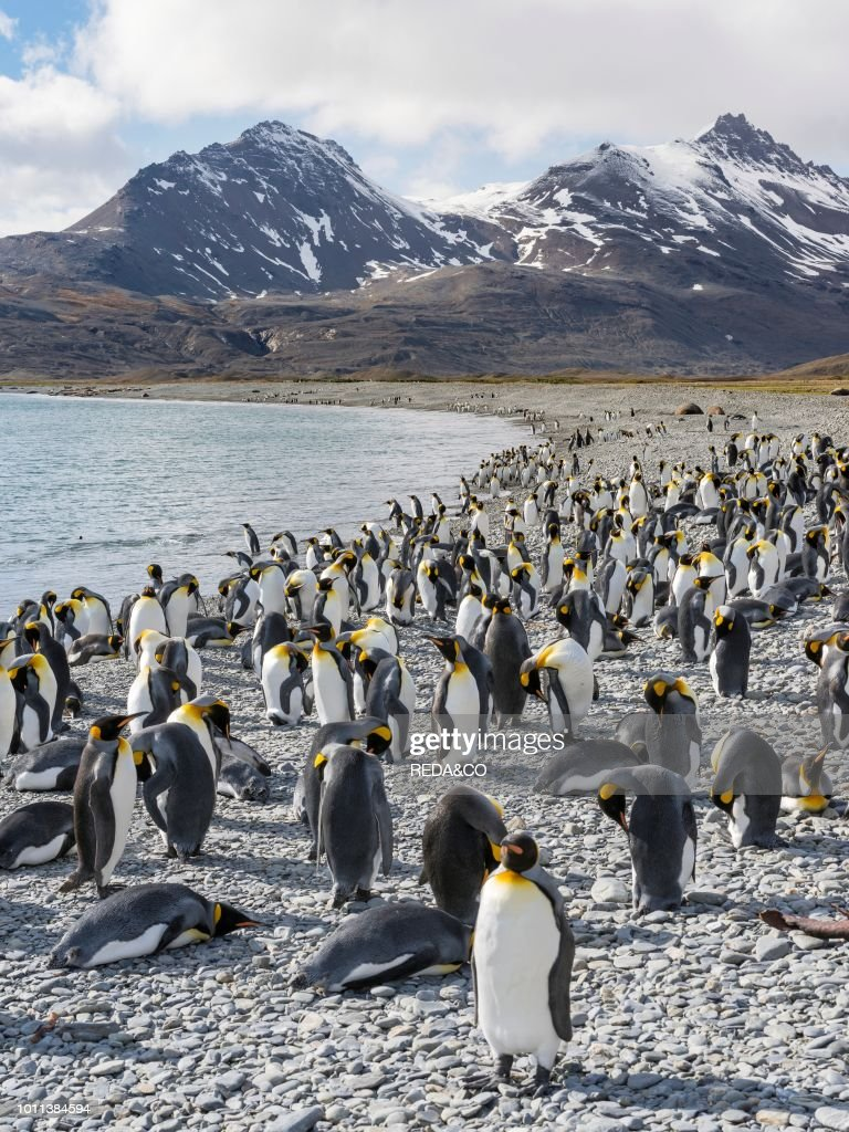 King Penguin Aptenodytes patagonicus on the island of South Georgia the rookery in Fortuna Bay Antarctica Subantarctica South Georgia : News Photo