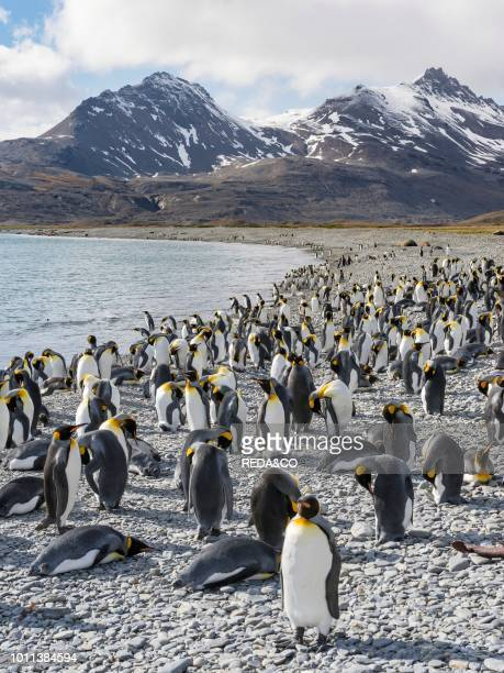 King Penguin Aptenodytes patagonicus on the island of South Georgia the rookery in Fortuna Bay Antarctica Subantarctica South Georgia