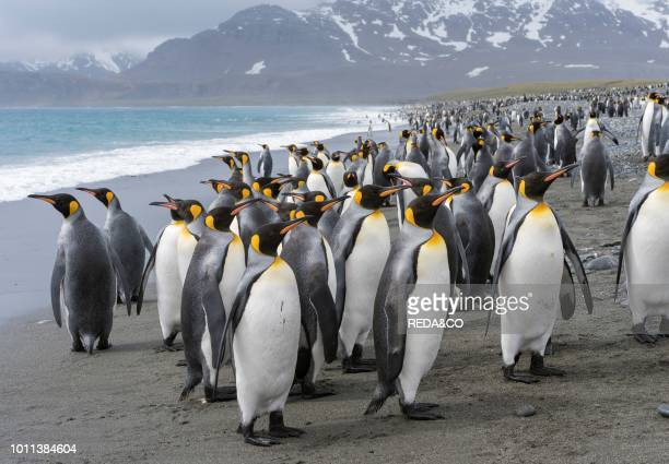 King Penguin Aptenodytes patagonicus on the island of South Georgia the rookery on Salisbury Plain in the Bay of Isles Antarctica Subantarctica South...