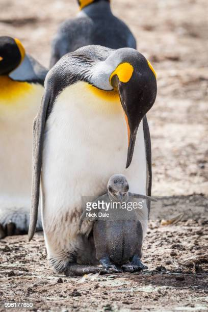 king penguin bending down to grey chick - rookery stock pictures, royalty-free photos & images