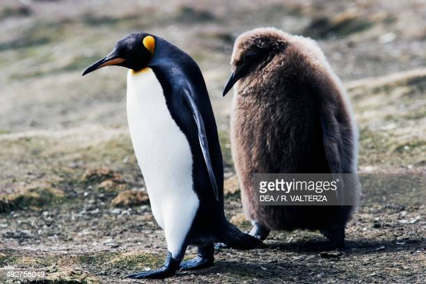 King penguin chick following an adult one Spheniscidae Volunteer Point East Falkland Falkland or Malvinas Islands
