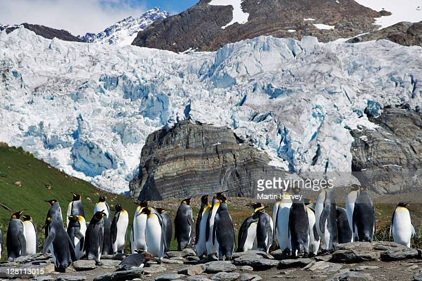 king penguin colony, aptenodytes patagonicus. second largest penguin that weighs up to 40 pounds. very social birds that nest in colonies of as many as 100,000 birds. south georgia island. dist. sub antarctic belt of islands - sub antarctic islands stock photos and pictures