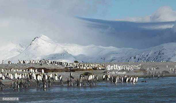 King Penguin Colony at Salisbury Plain
