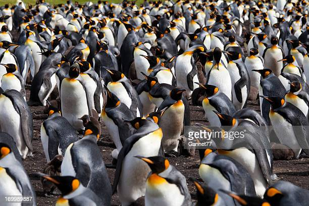 King Penguin Colony, Falkland Islands