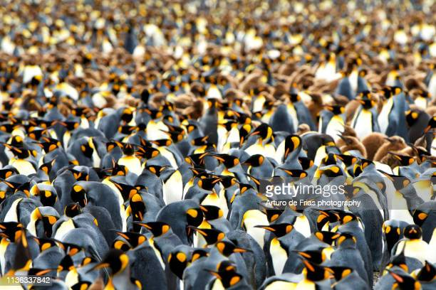 king penguin colony in gold harbor, south georgia island - atlantic islands stock pictures, royalty-free photos & images