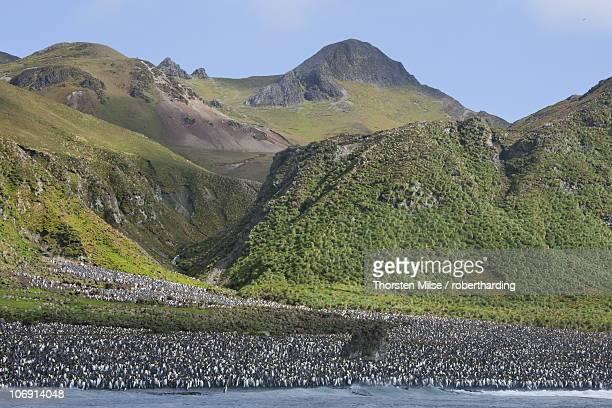 king penguin colony (aptenodytes patagonicus), macquarie island, sub-antarctic, polar regions - sub antarctic islands stock photos and pictures