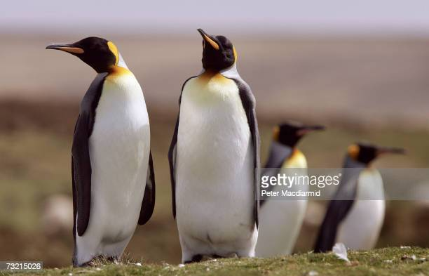 King penguin colony nests on February 5, 2007 at Volunteer Point, Falkland Islands.