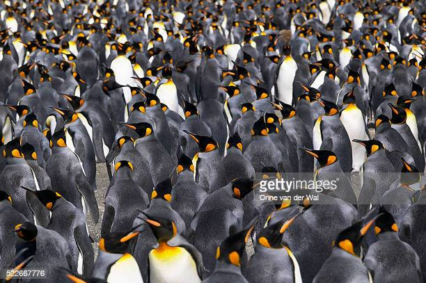 King Penguin Colony on South Georgia Island