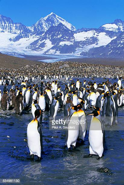 king penguin colony - st andrews bay stock pictures, royalty-free photos & images