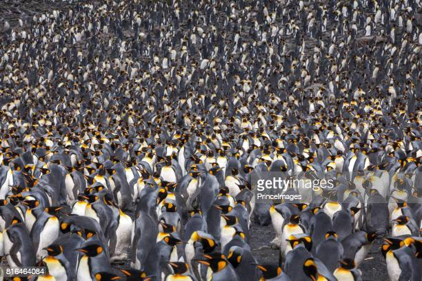 king penguin colony - colony group of animals stock photos and pictures