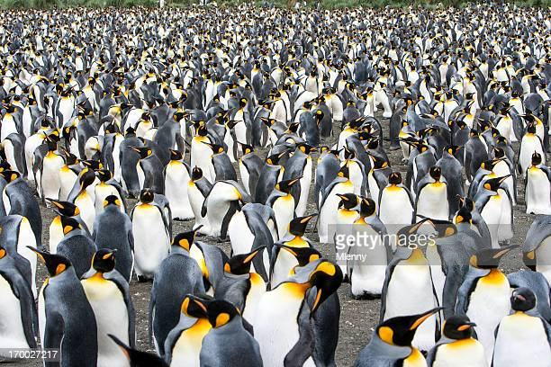king penguin colony south georgia, antarctica - colony stock pictures, royalty-free photos & images