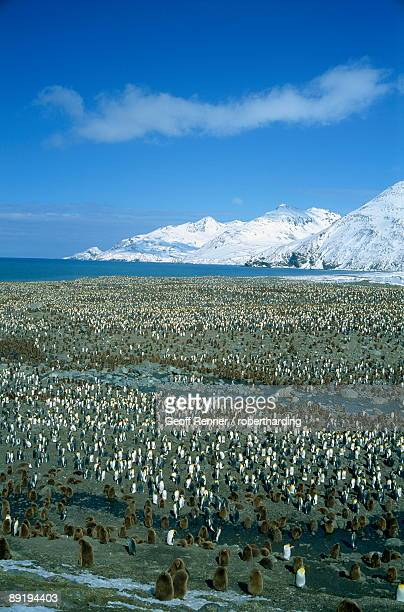 king penguin colony, st. andrews bay, south georgia, polar regions - rookery stock pictures, royalty-free photos & images